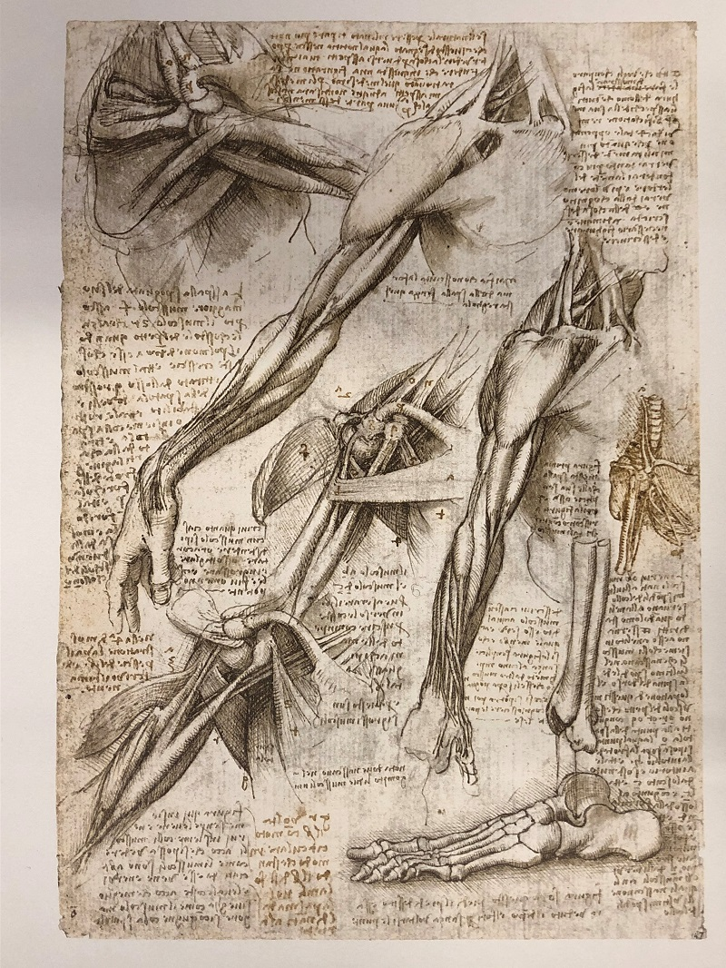 The muscles of the shoulder and arm, and the bones of the foot, ca. 1510-1511. Black chalk, pen and ink, wash. RCIN 019013v. Fac