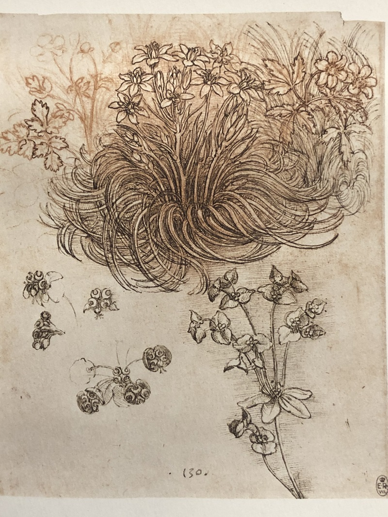 Botanical study, ca. 1506-1512. Red chalk, pen and ink. Melzi 130. RCIN 912424. Facsimile from Keele and Pedretti (1982-1987), v