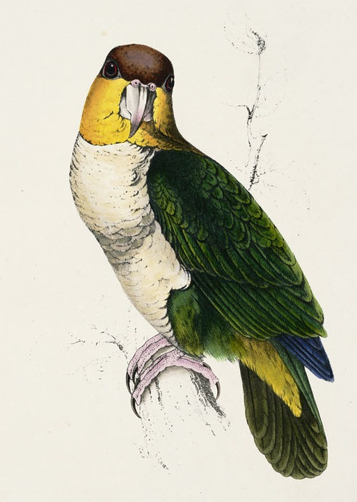 Lear. Bay-headed parrot